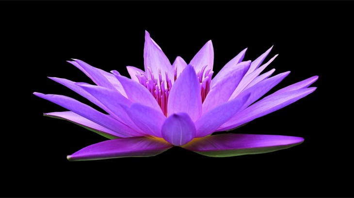 water-lily-1592771_1280